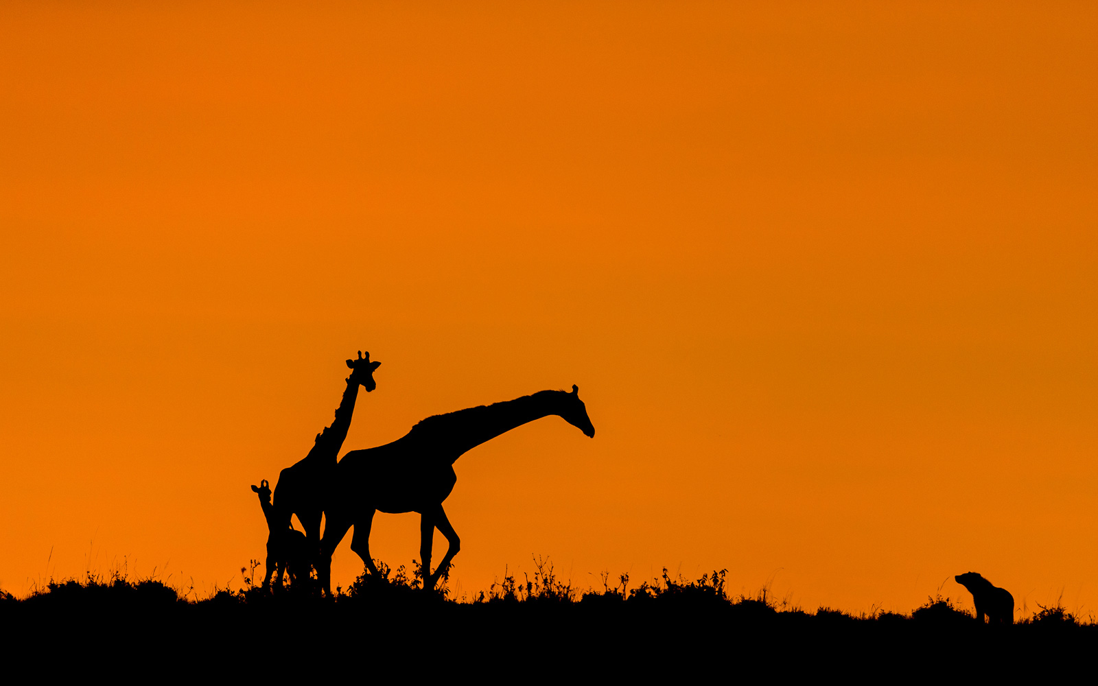 A young giraffe is protected from an opportunistic hyena in Maasai Mara National Reserve, Kenya © Dev Raj
