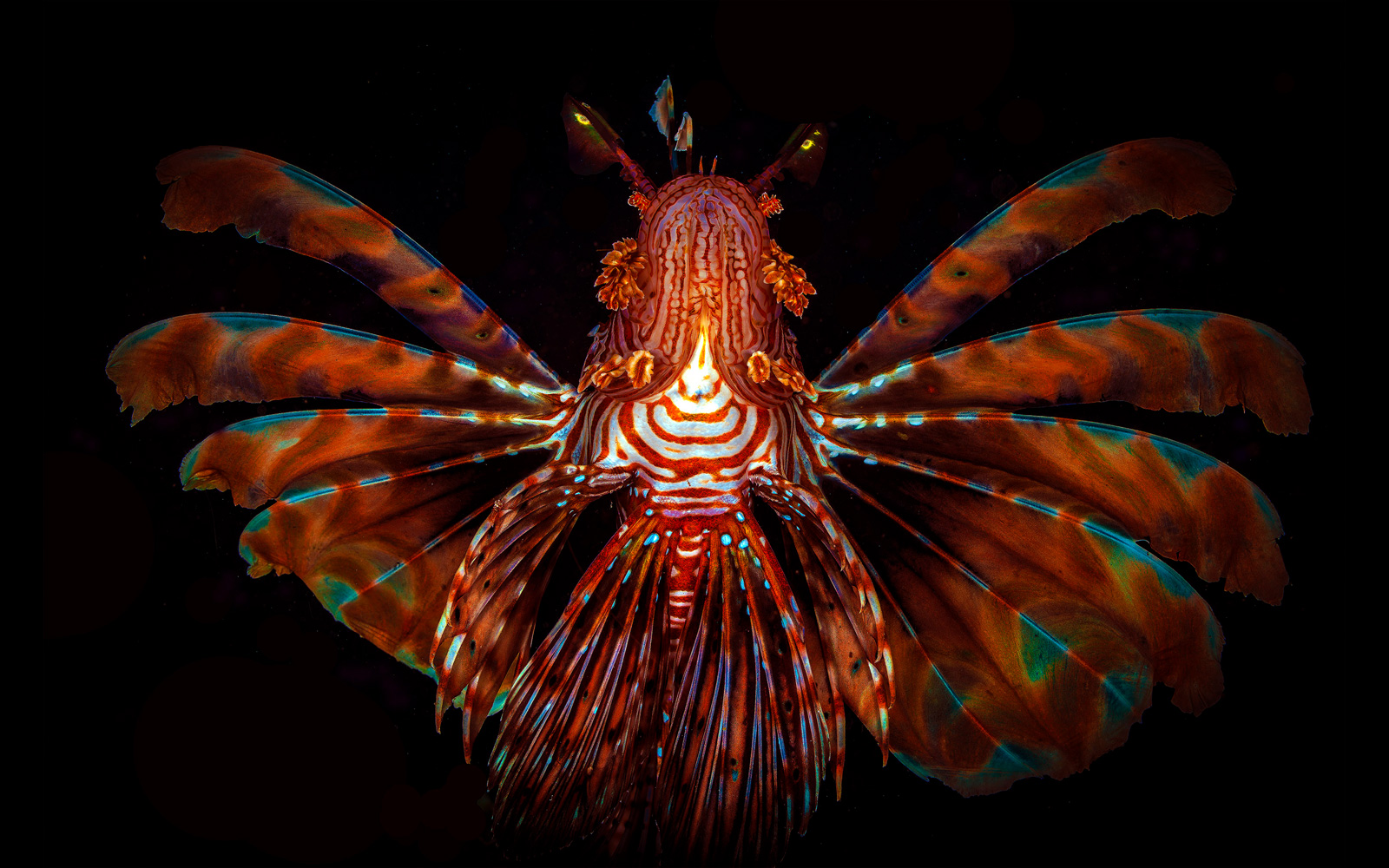 """The winged soldier"" – a devil firefish in northern Zanzibar © Peet J. van Eeden"