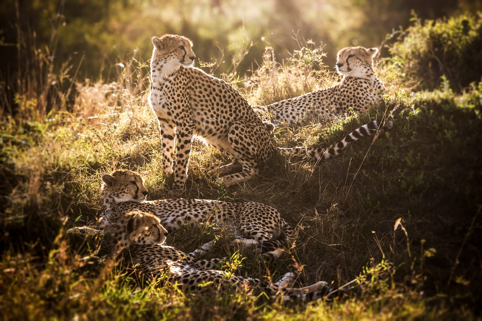 "Cheetahs are one of the most threatened cats in Africa. We must continue working hard to protect their diminishing populations © <a href=""http://bjornpersson.nu/"" target=""_blank"">Björn Persson</a>"