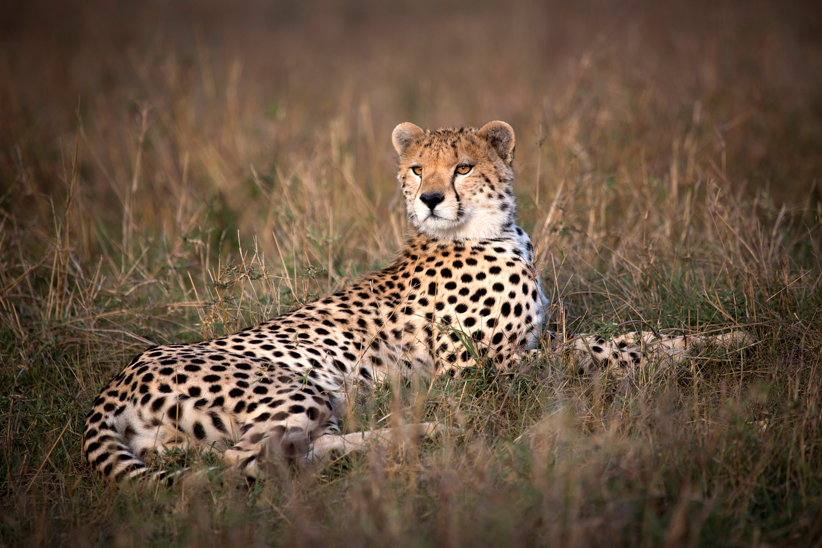 """Like a human fingerprint, every cheetah has a unique pattern of spots © <a href=""""http://bjornpersson.nu/"""" target=""""_blank"""">Björn Persson</a>"""