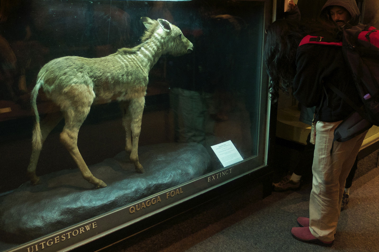 This Quagga foal was the first extinct animal to have its DNA studied ©Alison Westwood