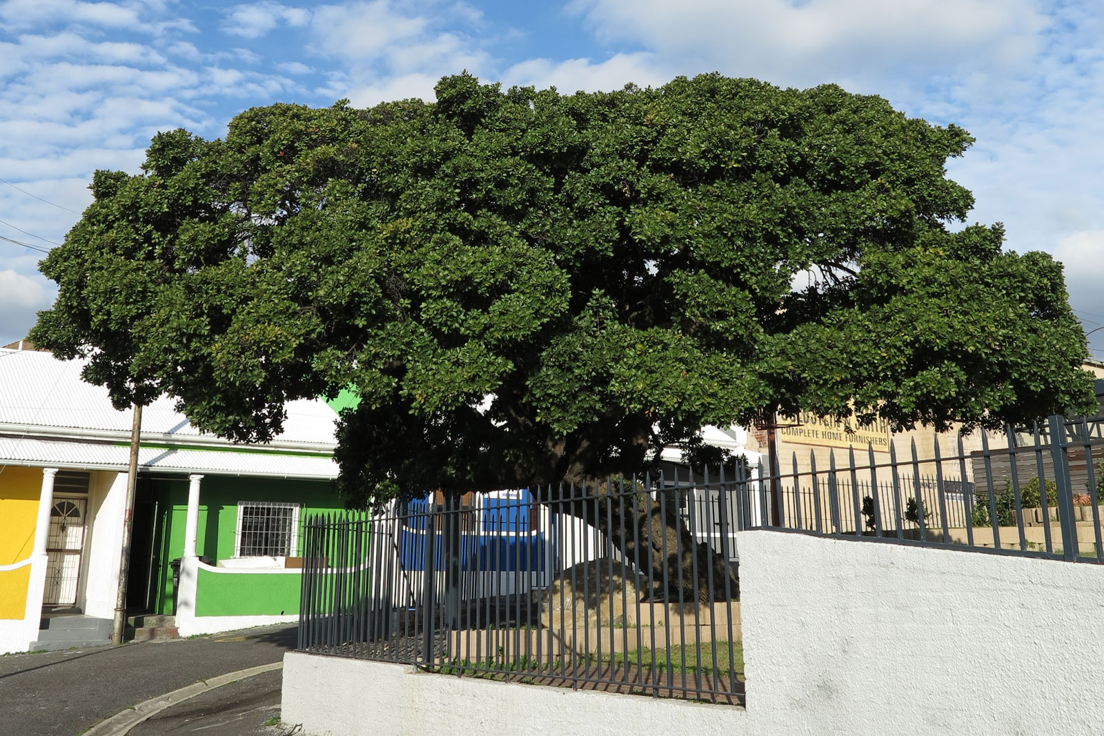 The Treaty Tree is a landmark milkwood tree that marks the spot where control of the Cape passed from the Dutch to the British ©Alison Westwood