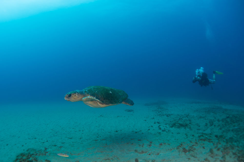 "It's a big world out there - a loggerhead turtle on its journey into the abyss © <a href=""http://fionaayerst.me/"" target=""_blank"">Fiona Ayerst</a>"