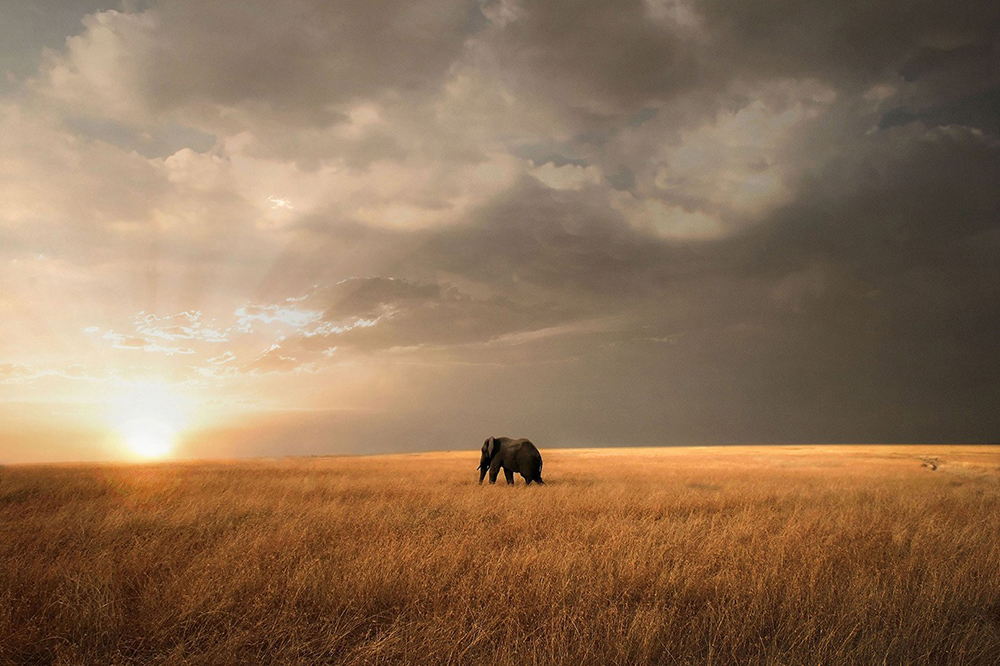 A lone elephant takes the first steps torwards a new day in the Maasai Mara, Kenya ©Björn Persson