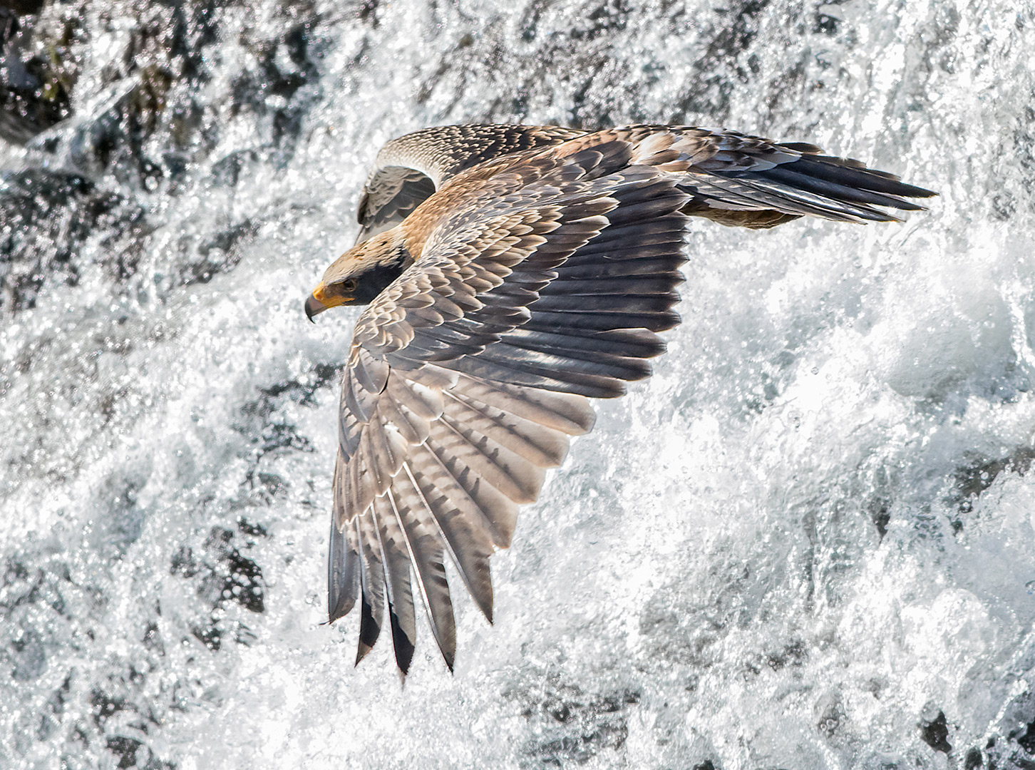 A juvenile black eagle takes off from a waterfall in the Walter Sisulu National Botanical Garden, South Africa ©Ernest Porter