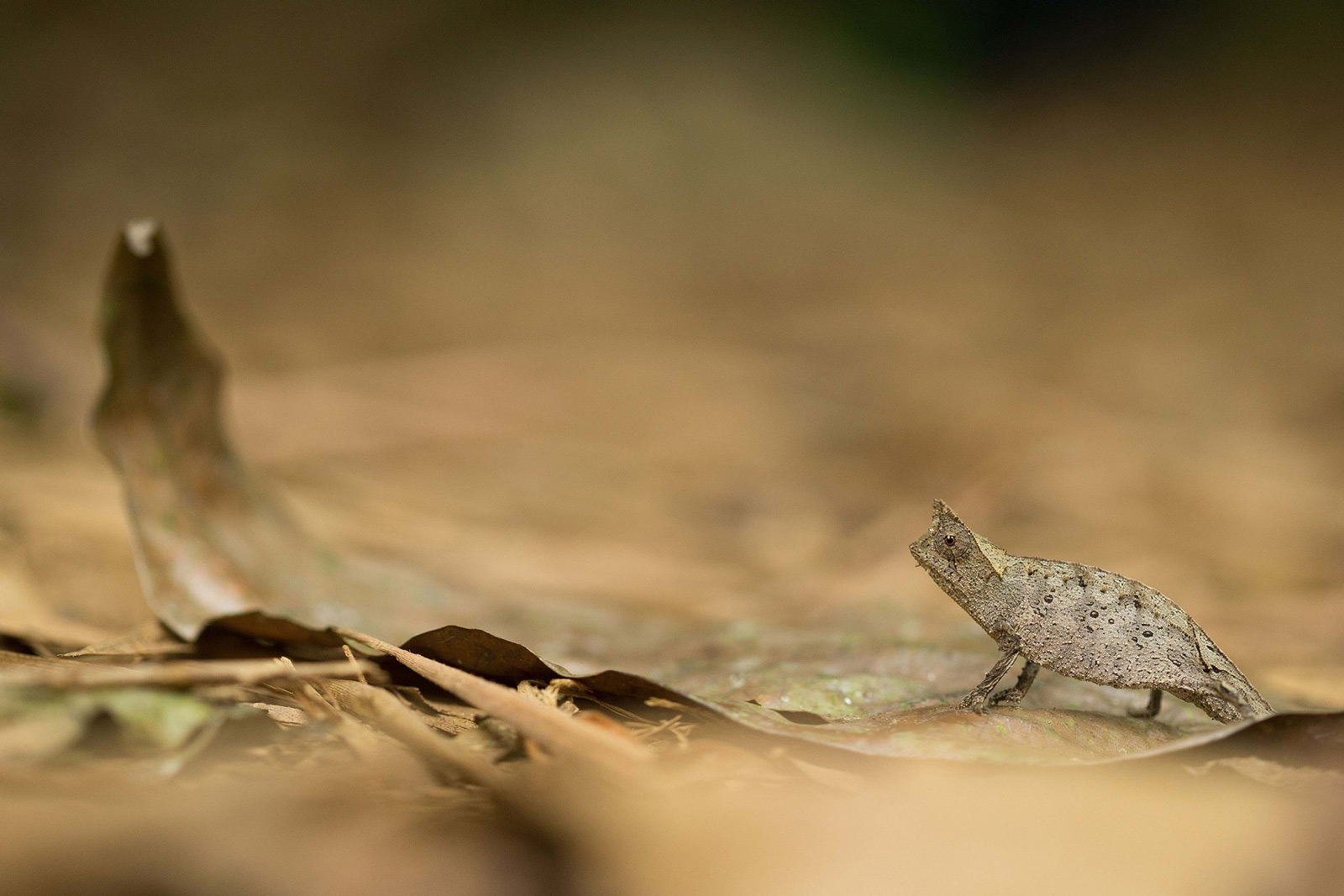 A brown leaf chameleon takes a break while crossing a path in Ranomafana National Park, Madagascar ©Alastair Marsh