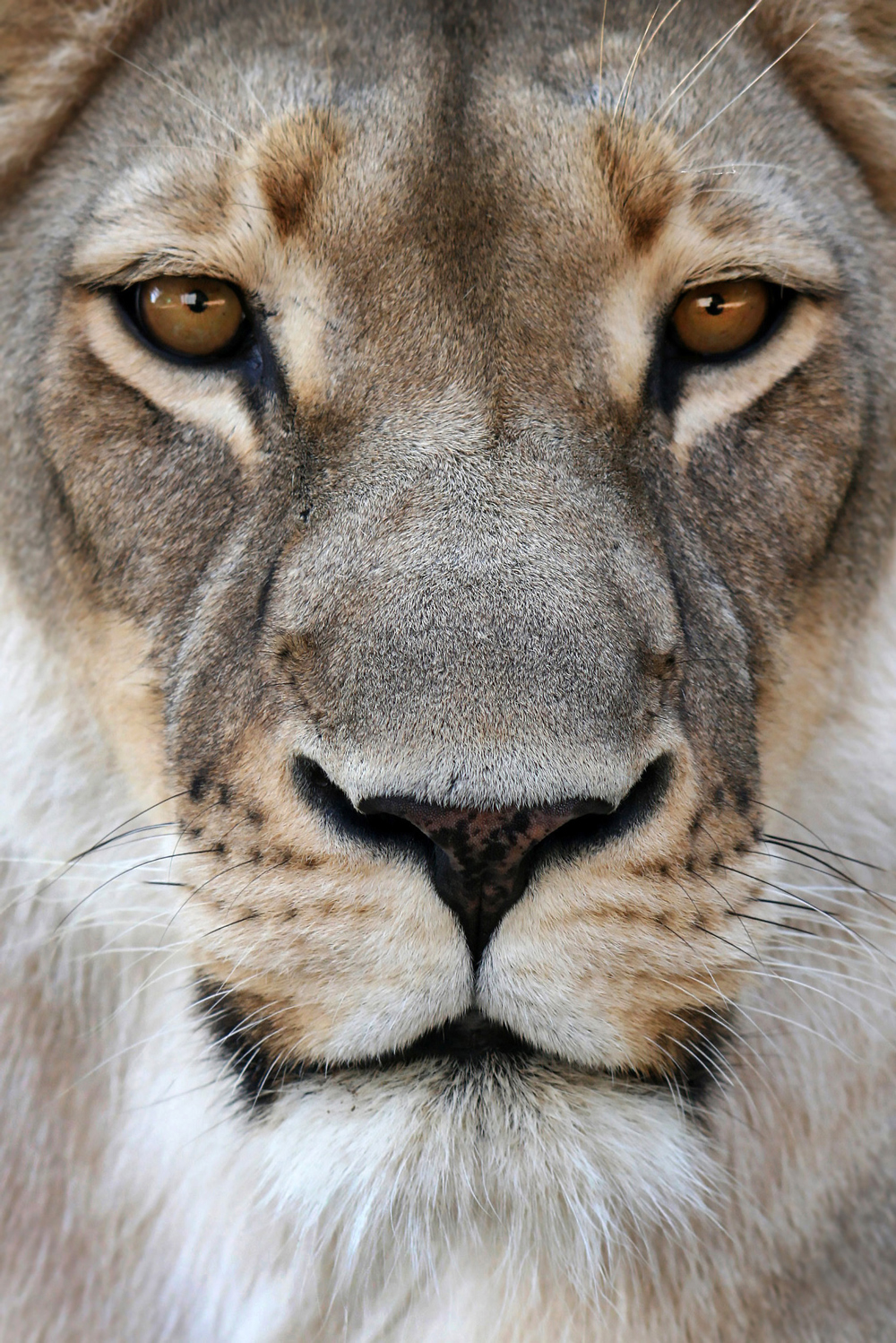 A portrait of a lion in Kruger National Park, South Africa ©Bjorn Persson