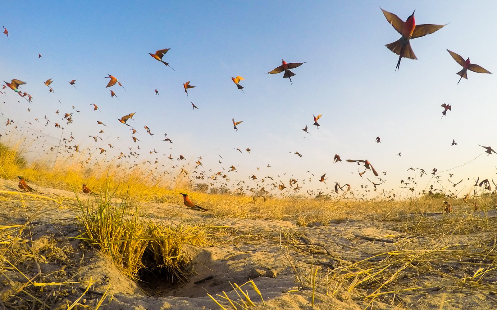 Thousands of carmine bee-eaters take off from their nesting grounds on the Zambezi River, Namibia ©Jason Lee Boswell