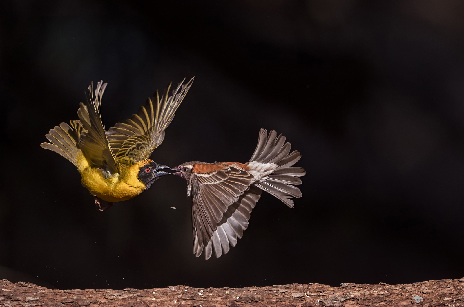 A male southern masked weaver fights with a female Cape sparrow in Bloemfontein, South Africa ©Willem Kruger