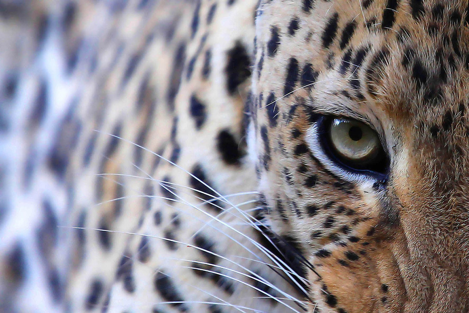 Soul of the leopard in Okonjima Game Reserve, Namibia ©Björn Persson