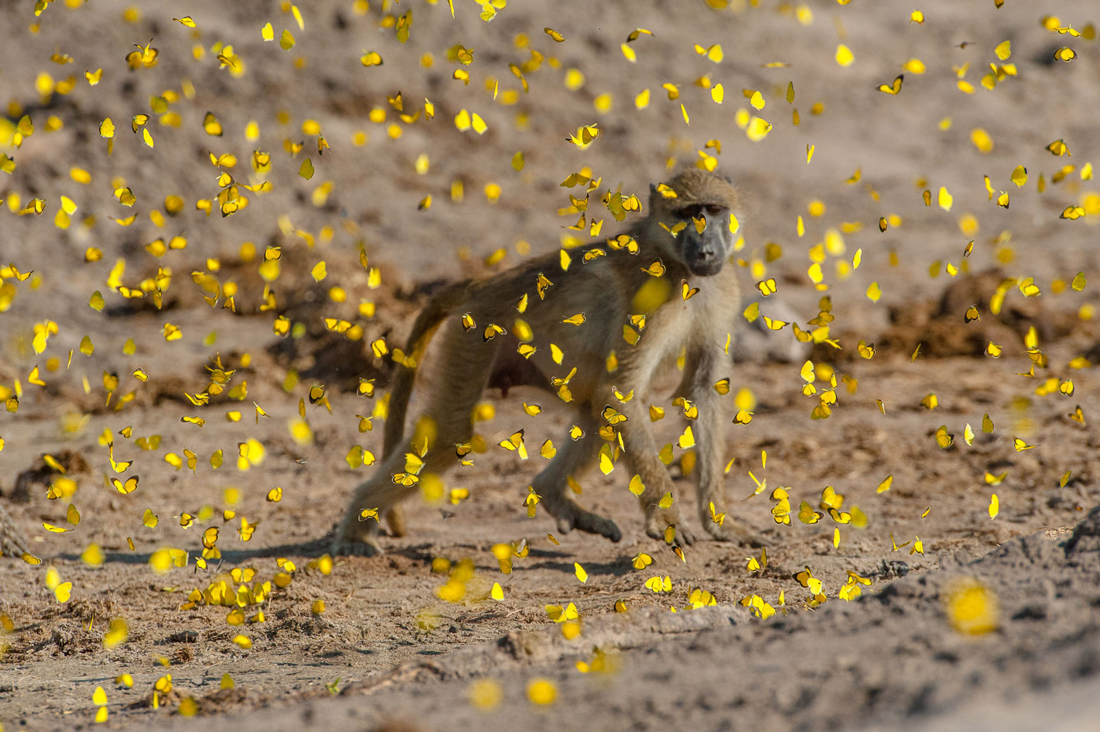 Baboon having a fun afternoon amongst the butterflies in Chobe, Botswana ©Corlette Wessels