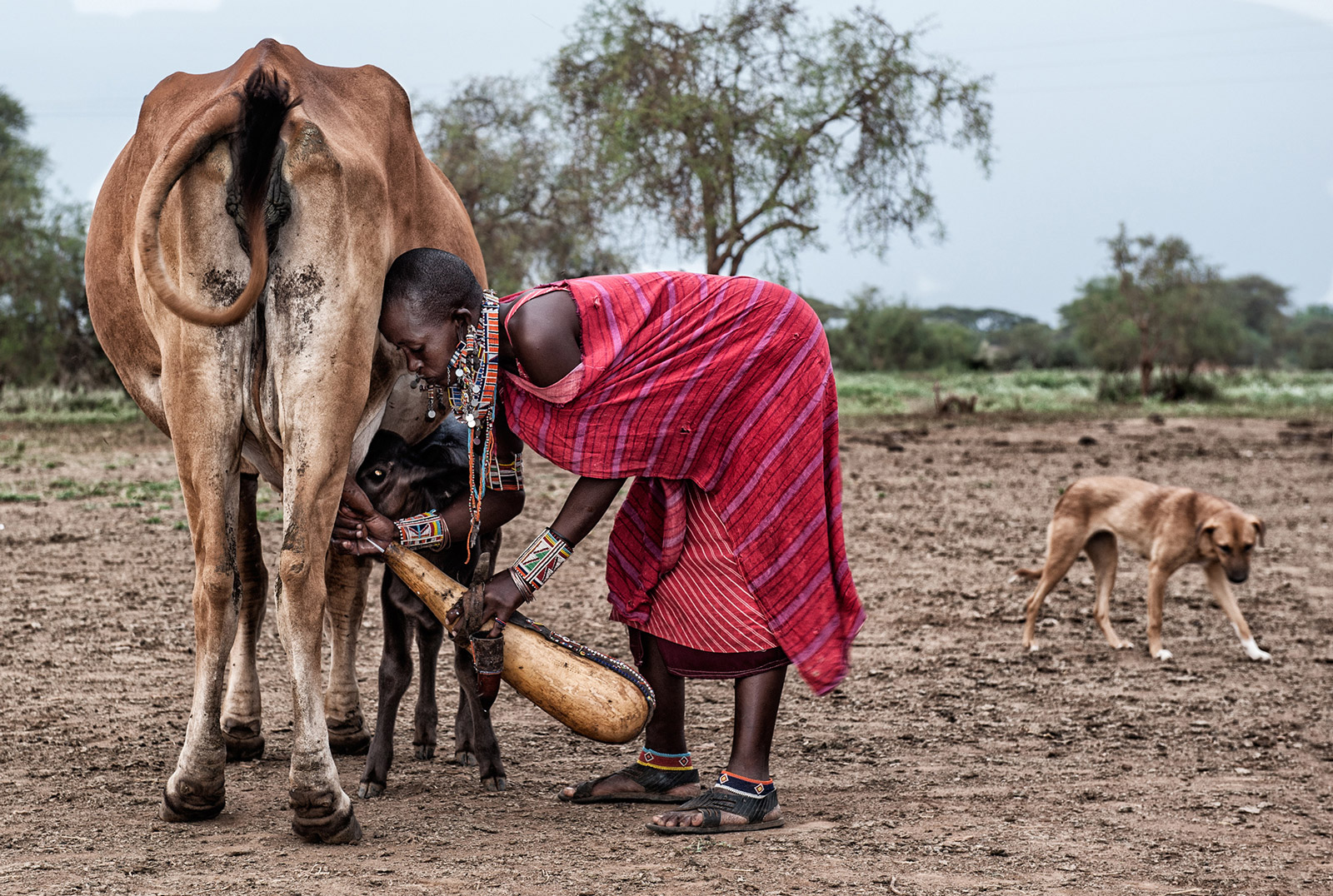 Maasai woman getting milk from the cow directly into a calabash ©Brigitta Moser