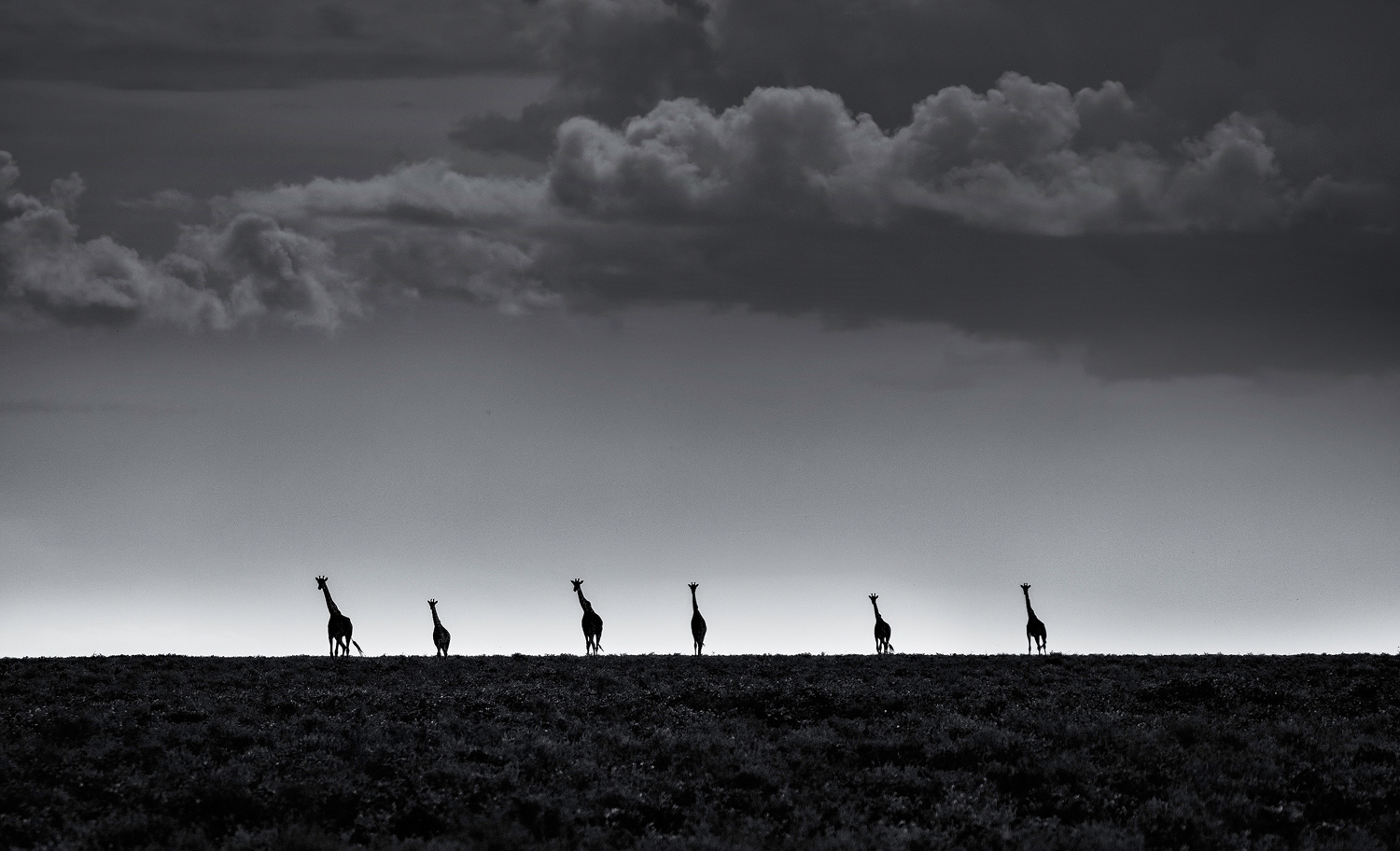A journey of giraffes pauses in the Serengeti National Park, Tanzania ©Greg Metro