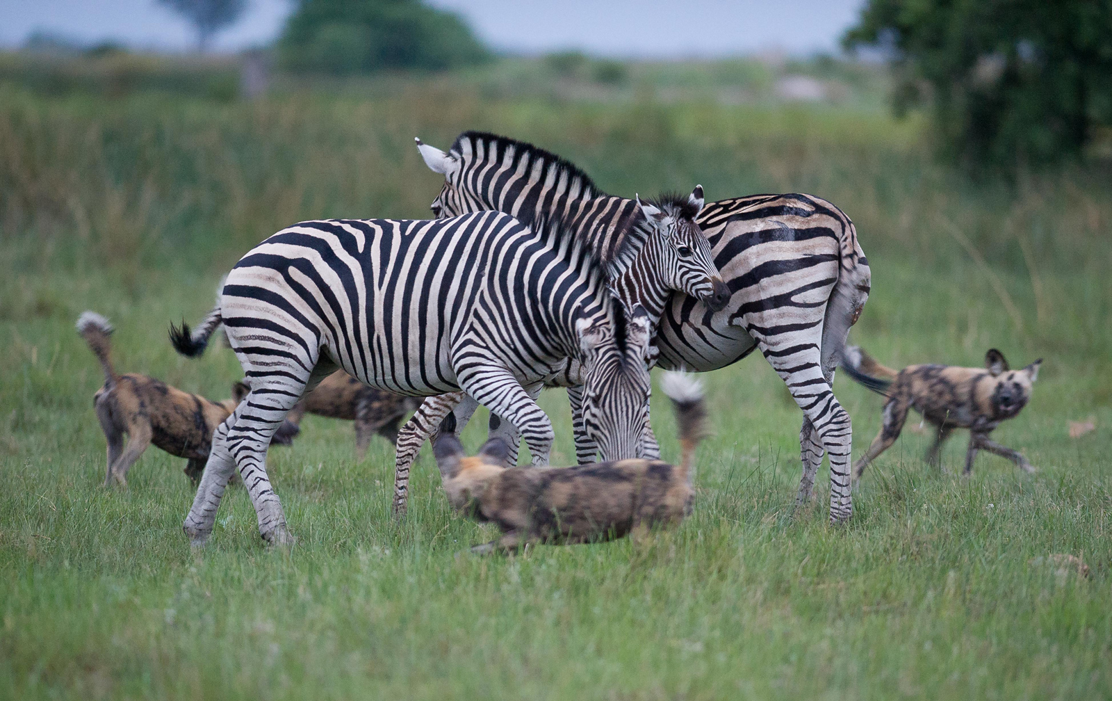 Protective zebra parents are encircled by wild dogs in the Kwando Concession, Botswana ©Peter Chadwick