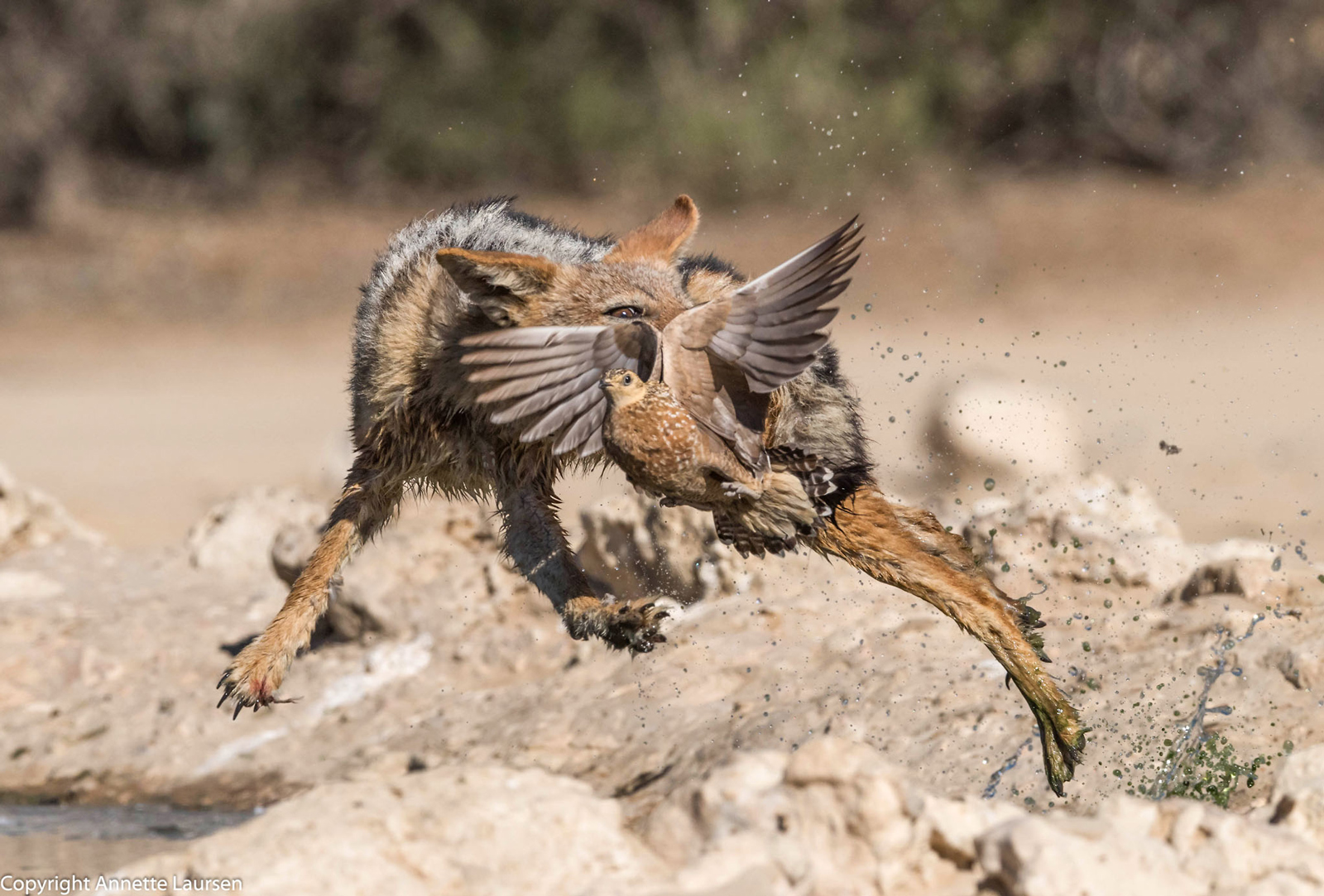 A jackal catching a sandgrouse in the Kgalagadi Transfrontier Park ©Annette Laursen