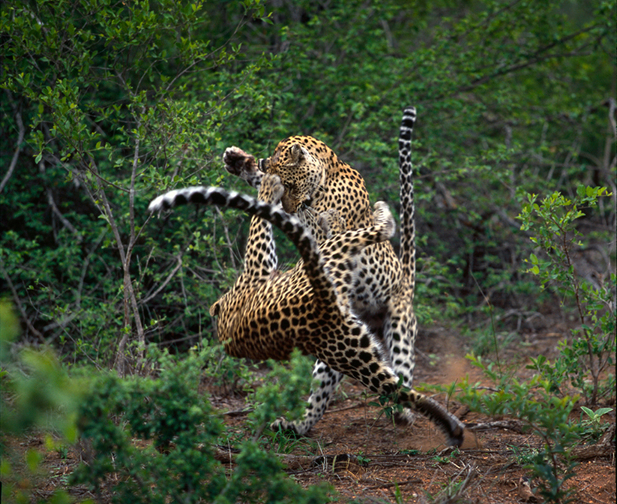 Leopards fighting in MalaMala Game Reserve, South Africa ©Gerald Hinde