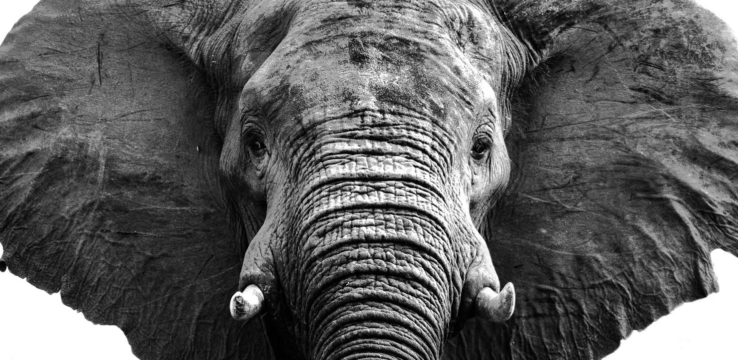 A stand-off with one of Africa's magnificent elephants in the Zambezi National Park, Zimbabwe ©Simon Webber