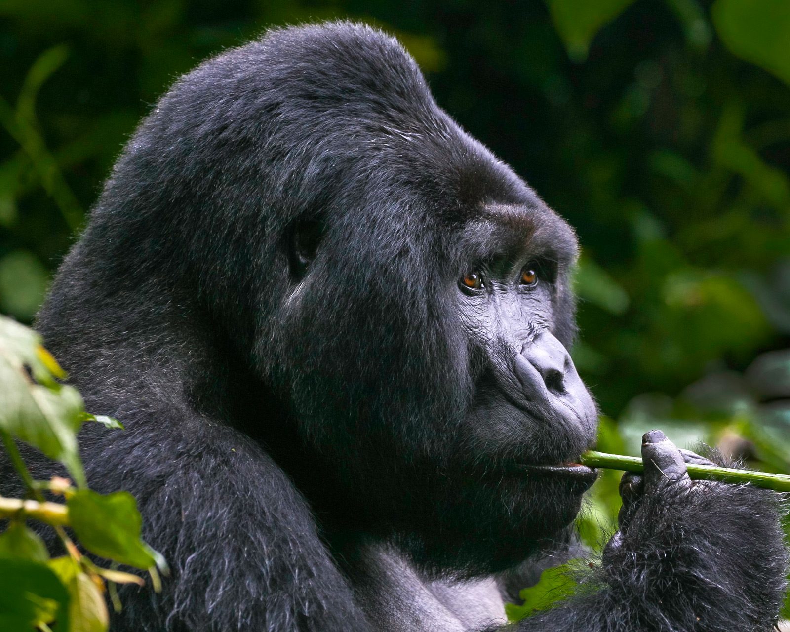 A silverback mountain gorilla has a pensive moment in Bwindi Impenetrable National Park, Uganda ©Martha Robbins