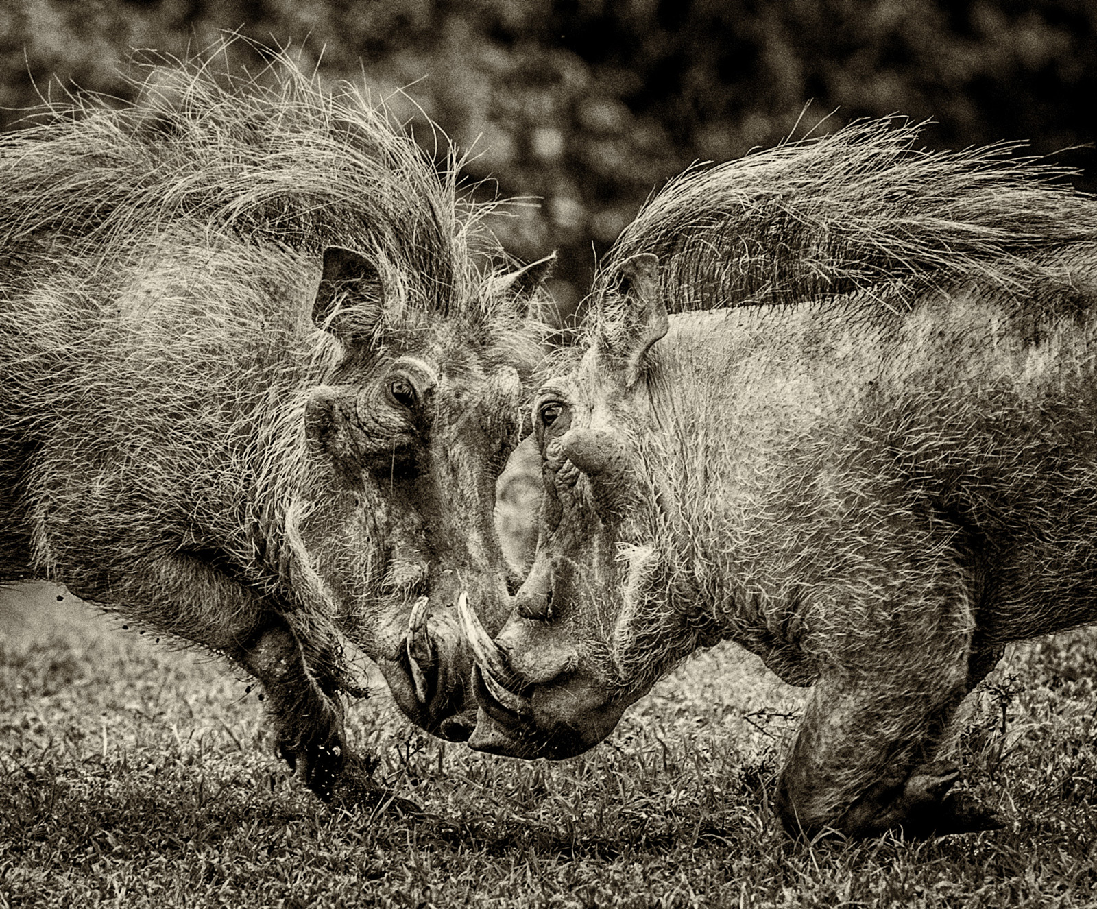 Warthogs pick a fight in the Maasai Mara National Reserve, Kenya ©Gillian Lloyd