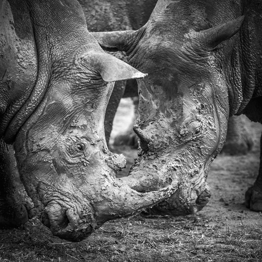 Two rhinos wrestle after wallowing in a mud bath ©Chris Grech