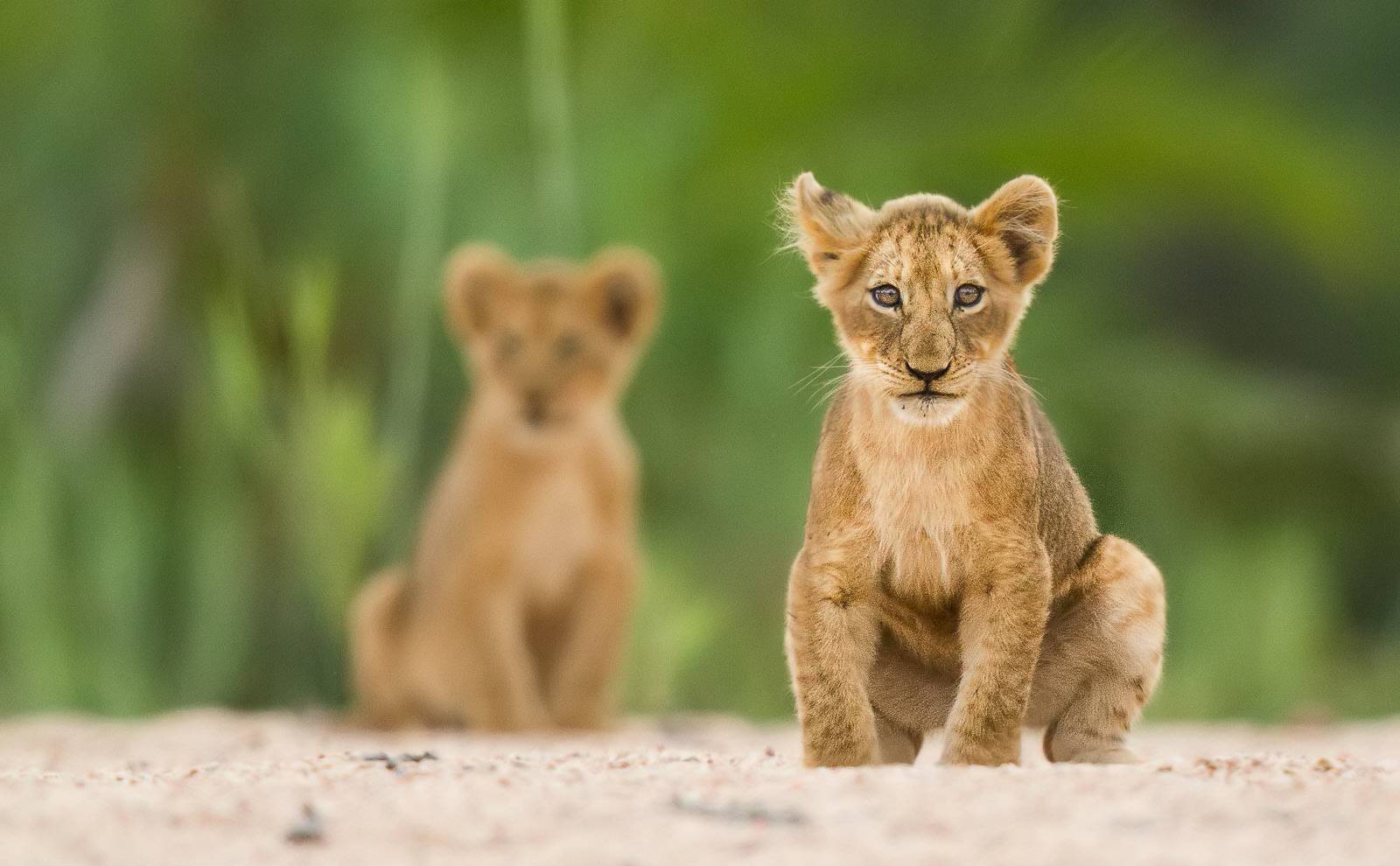 Cute lion cub twins in the Kruger National Park ©Massimo da Silva