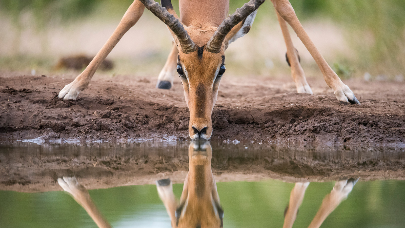 The reflection of an impala ram drinking at the Matabole Hide at Mashatu in Botswana ©Anna Mart-Kruger