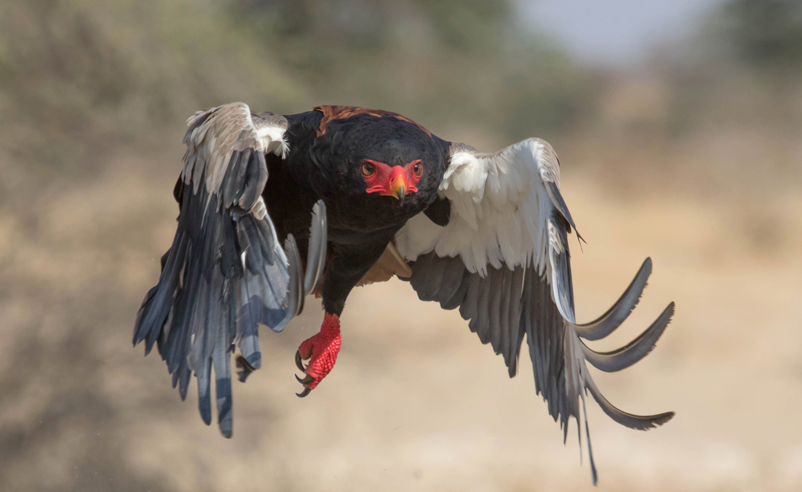 A bateleur eagle takes flight in the Kgalagadi ©Kate Morris