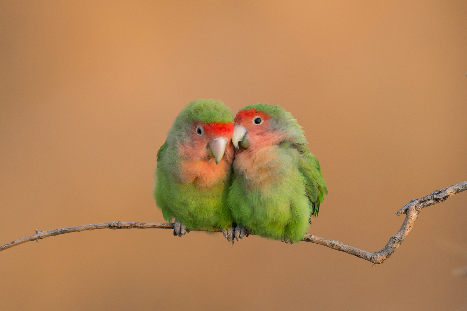 Rosy-faced lovebirds canoodle in the Erongo mountain range, Namibia ©John Davies