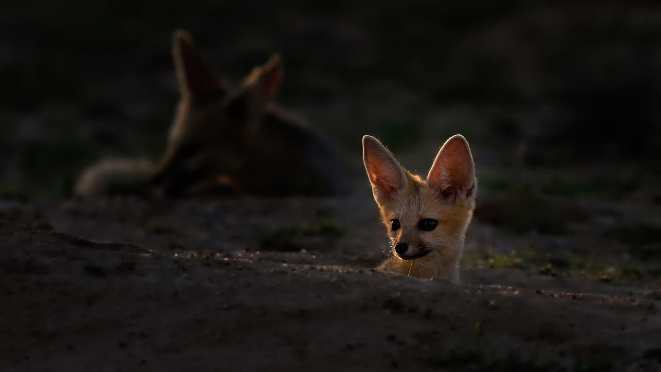 A Cape fox in the Kgalagadi Transfrontier Park, South Africa ©Johan J Botha