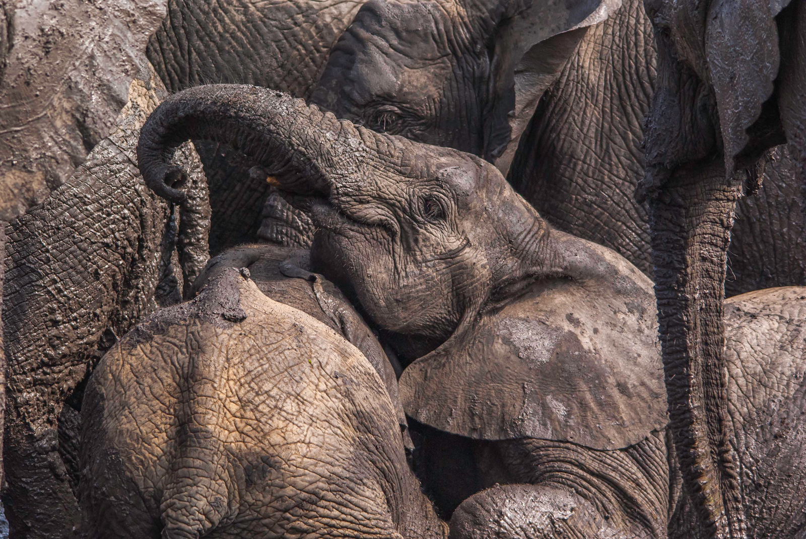 A small family of elephants enjoys a mud bath in a dwindling waterhole in Kruger National Park, South Africa ©Bert Fourie