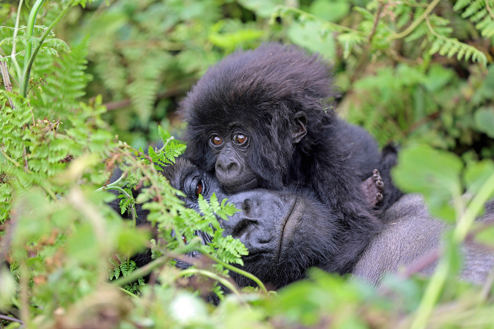 A gorilla baby with its mother in Volcanoes National Park, Rwanda ©Matthias Alter