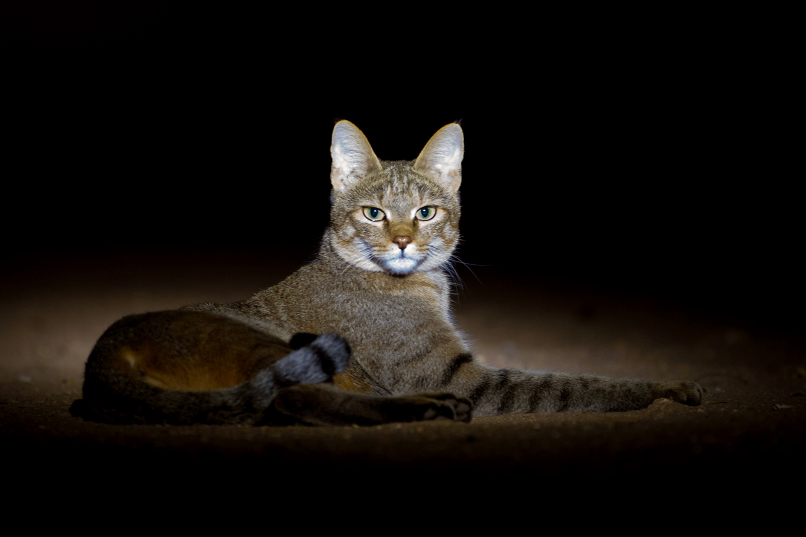 An African wildcat in Kruger National Park, South Africa ©Arnoud Quanjer