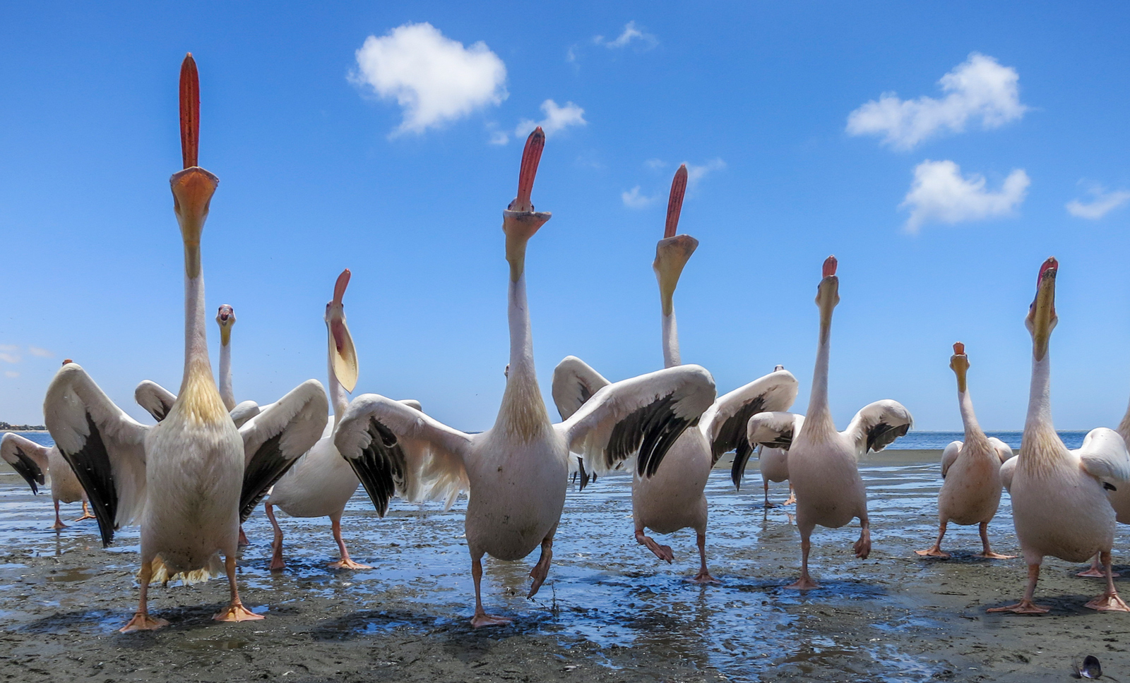Pelicans compete for fish scraps at Walvis Bay Lagoon, Namibia ©Anna Mart-Kruger