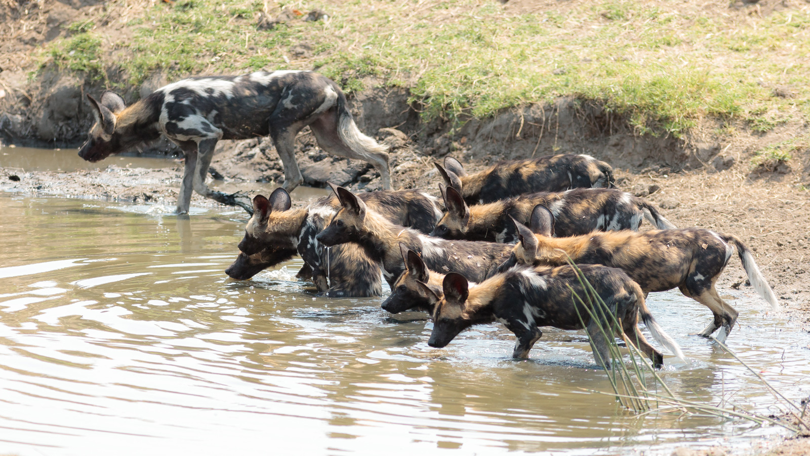 "Wild dog numbers have improved dramatically in the Luangwa Valley ©<a href=""http://www.edwardselfephotography.com/"" target=""_blank"">Edward Selfe Photography</a>"