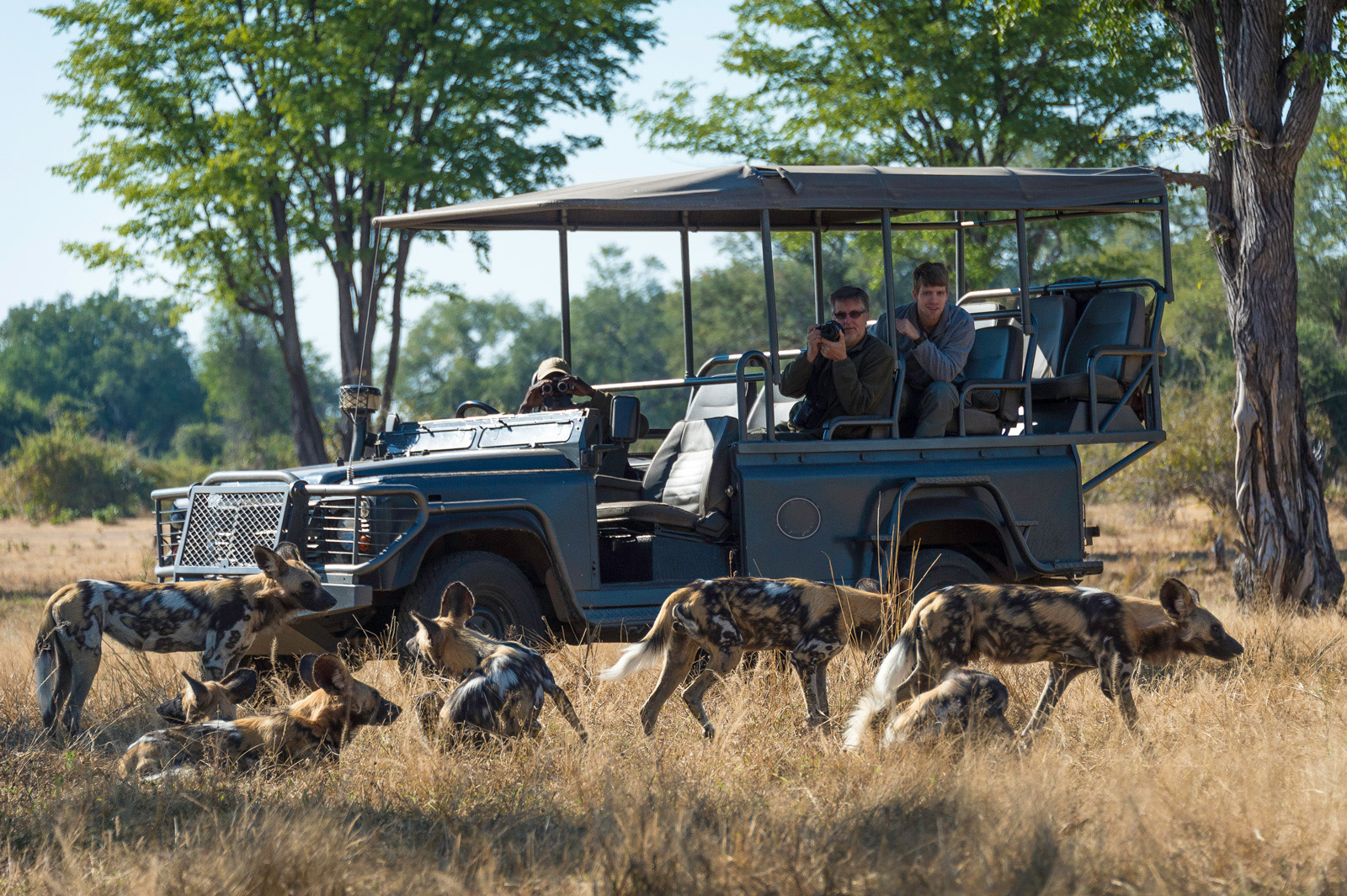 Wild dogs are sighted regularly on safaris in the Luangwa Valley today.  Photo by Dana Allen courtesy of The Bushcamp Company