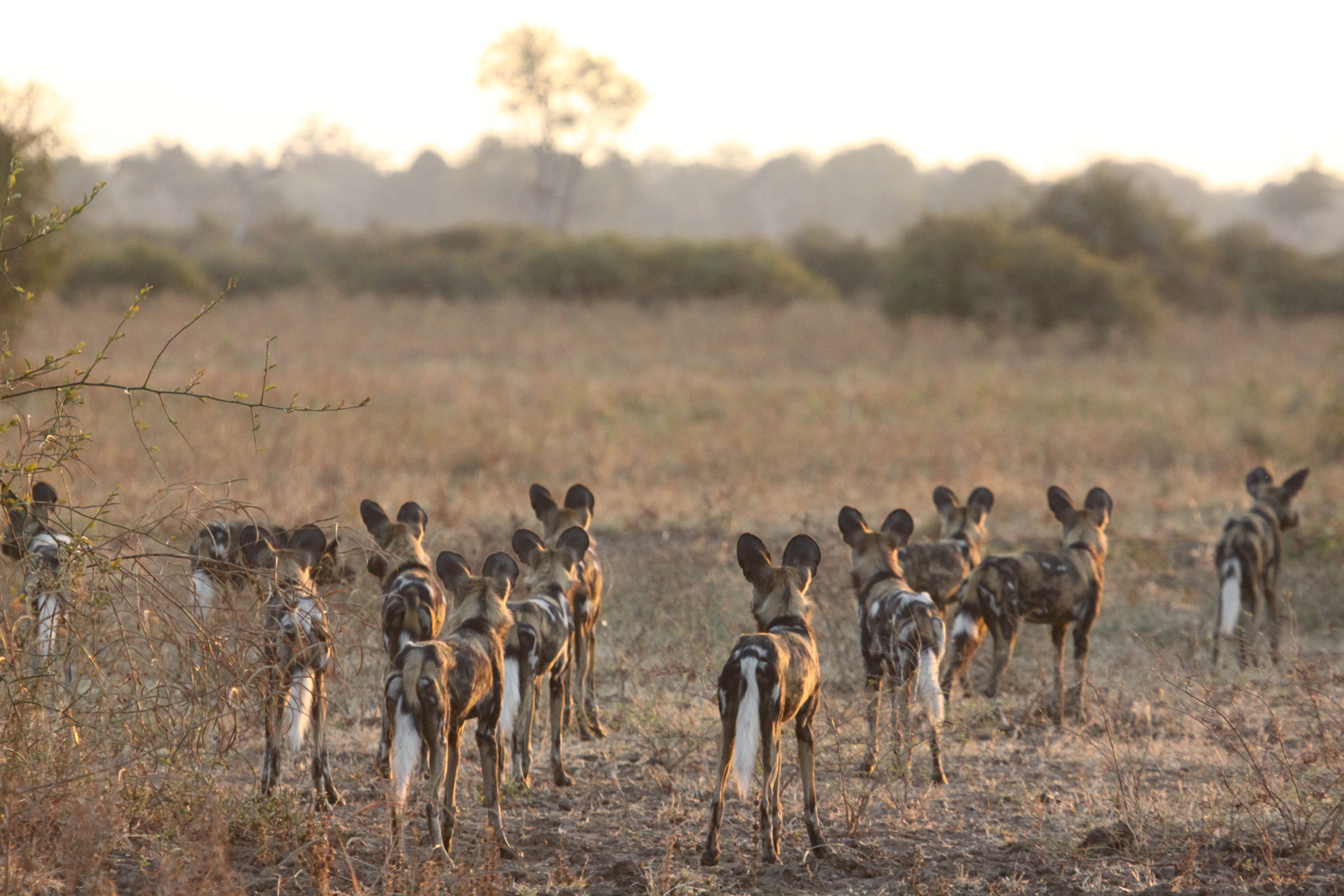 "There is good news for wild dogs, but efforts to conserve them must continue ©<a href=""http://www.zambiacarnivores.org/"" target=""_blank"">Zambian Carnivore Programme</a>"