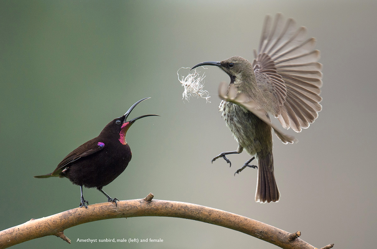 Amathyst-Sunbirds-2
