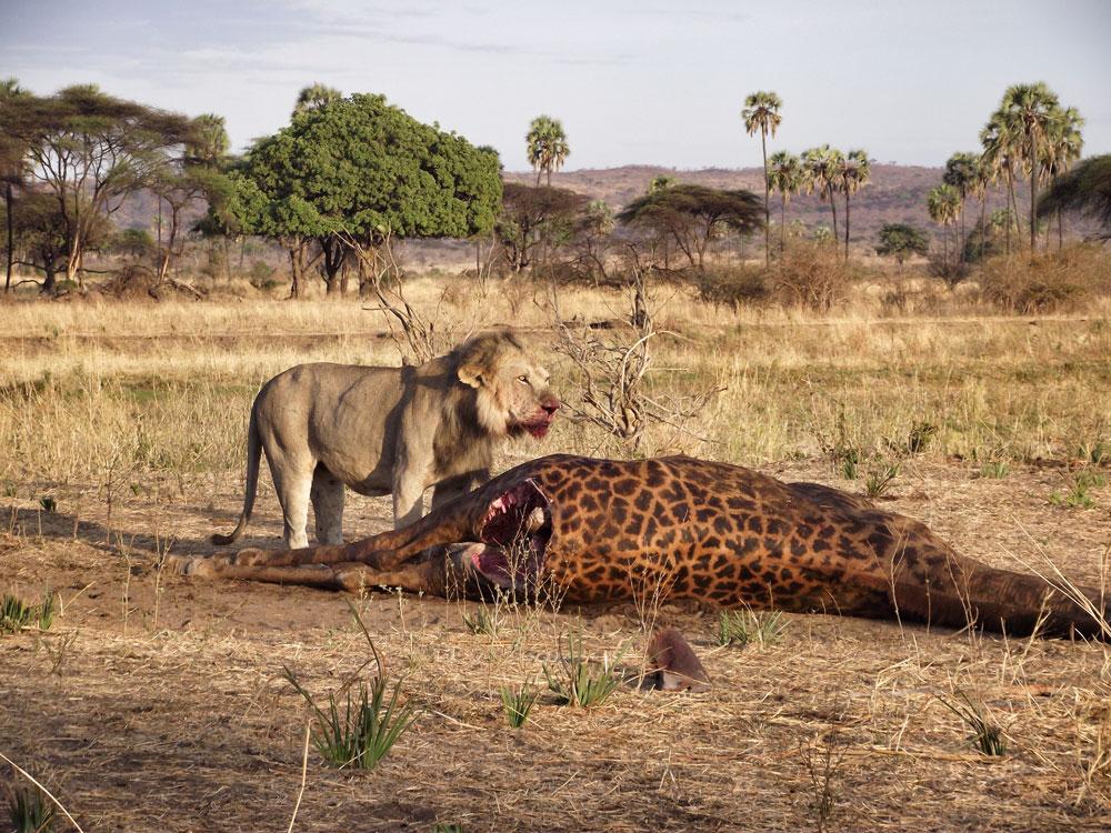 giraffe kill