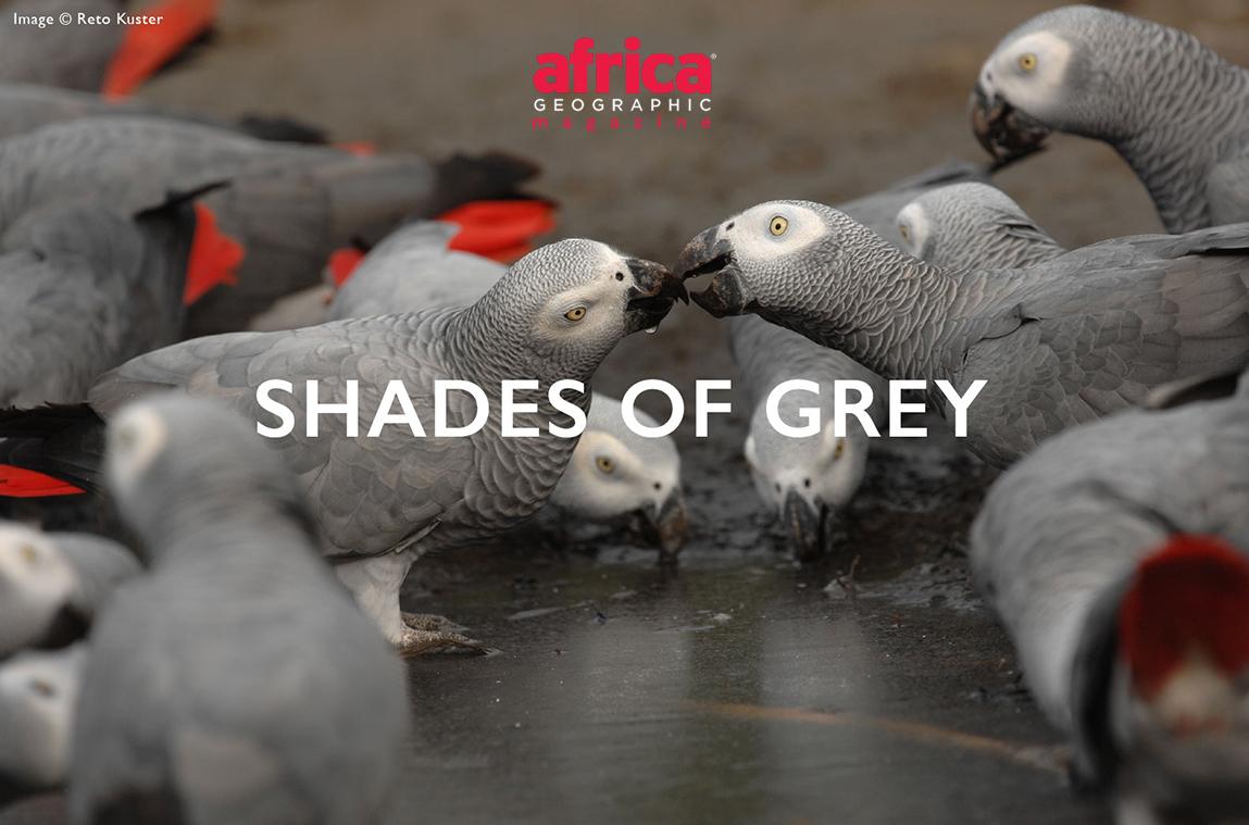 grey-parrots-header-6