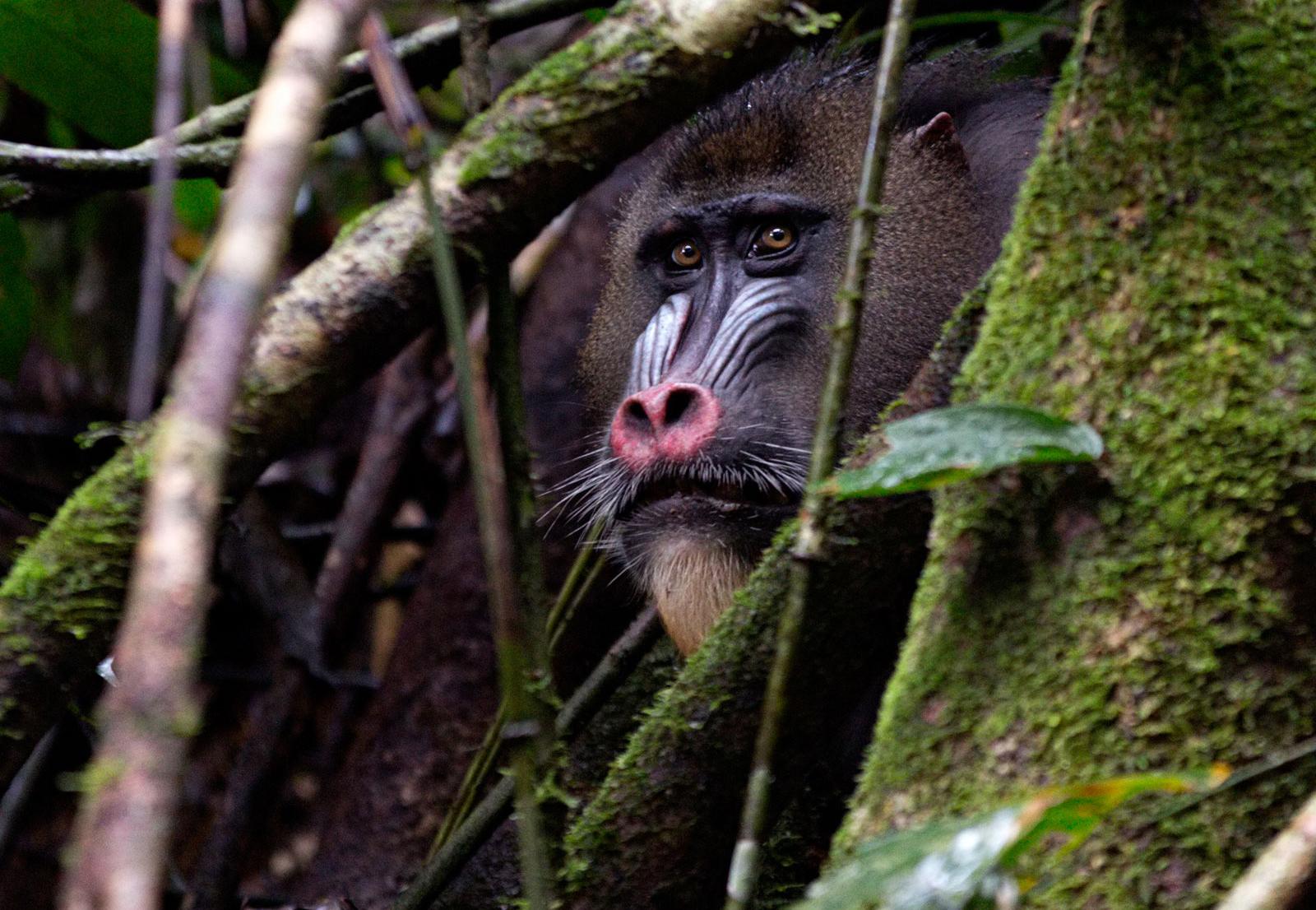 mandril-giovanni-mari-africa-geographic-11