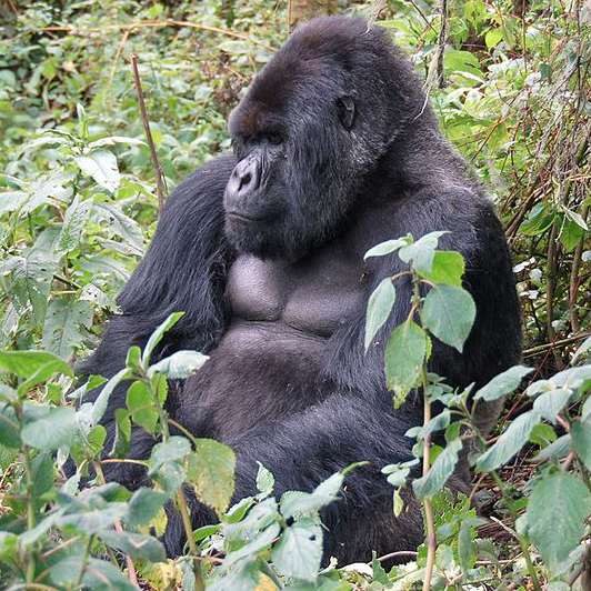 570px-Susa_group,_mountain_gorilla