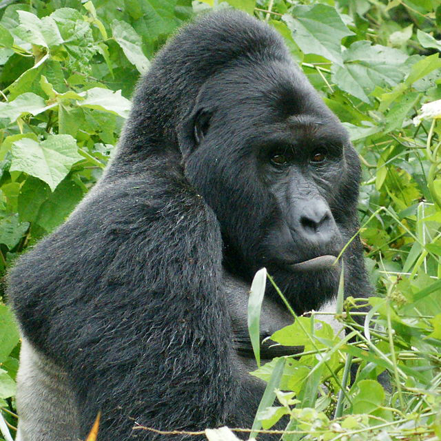 640px-Gorillas_in_Uganda-1,_by_Fiver_Löcker - 2