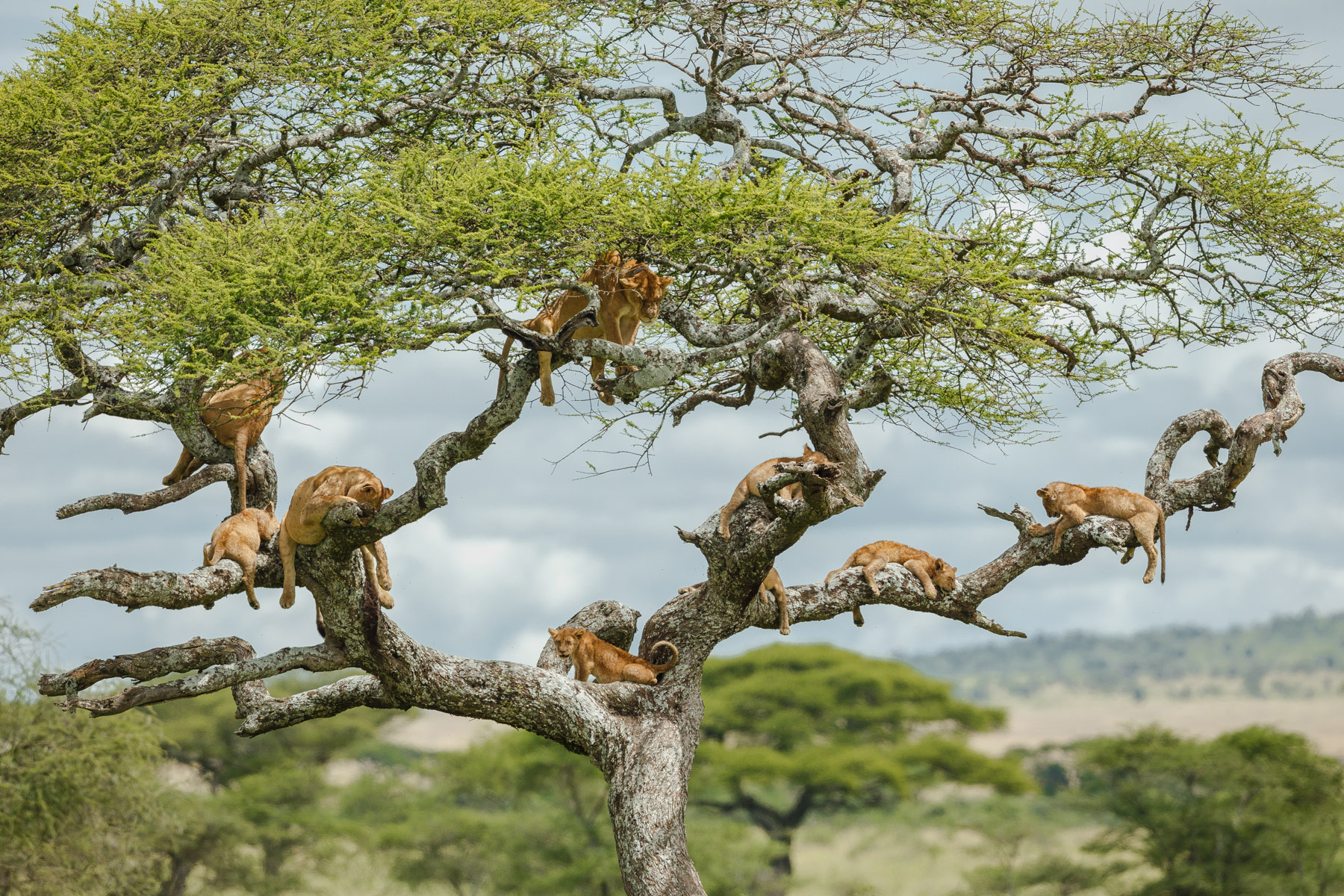 Lions-in-a-tree-tight-©Kym-Illman
