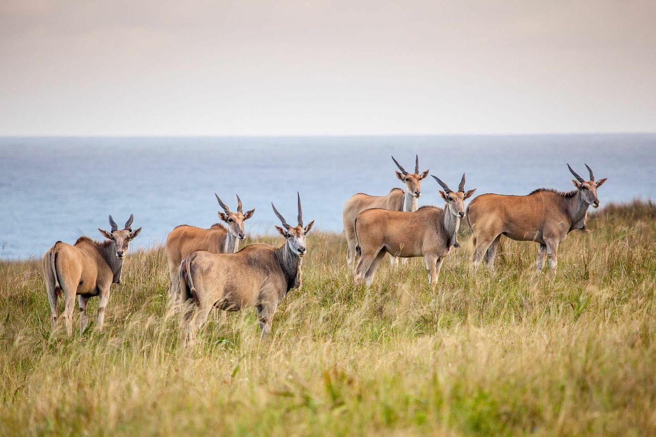 elands south africa ©scott ramsay