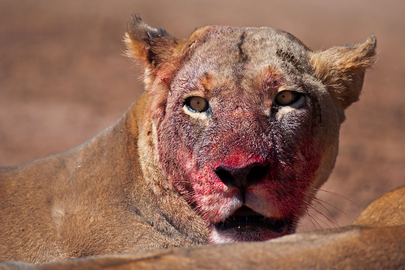 bloody-female-lion©WimVorster