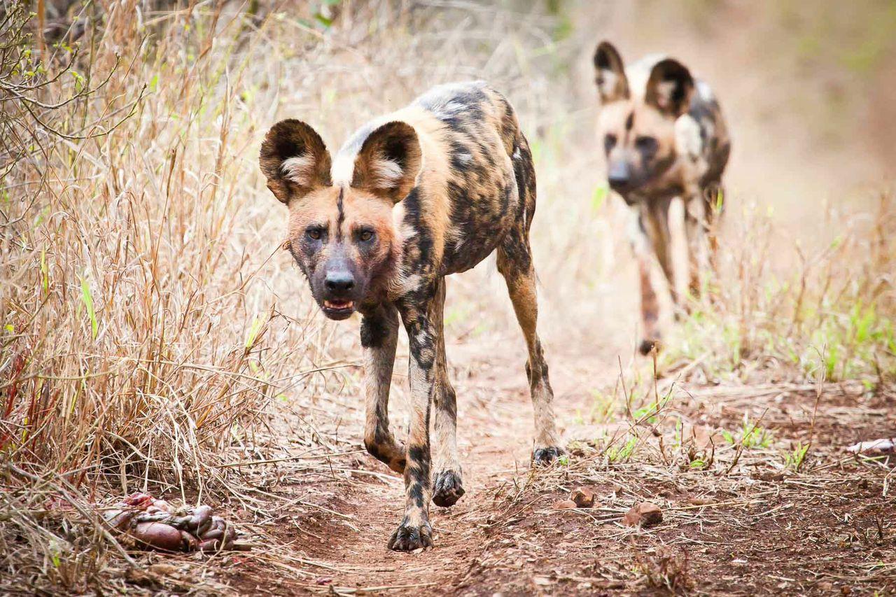 wild dog isimangaliso south africa ©scott ramsay