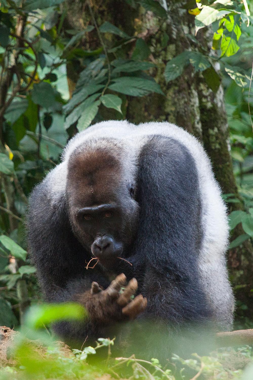 congo-gorillas-sophie-smith-2