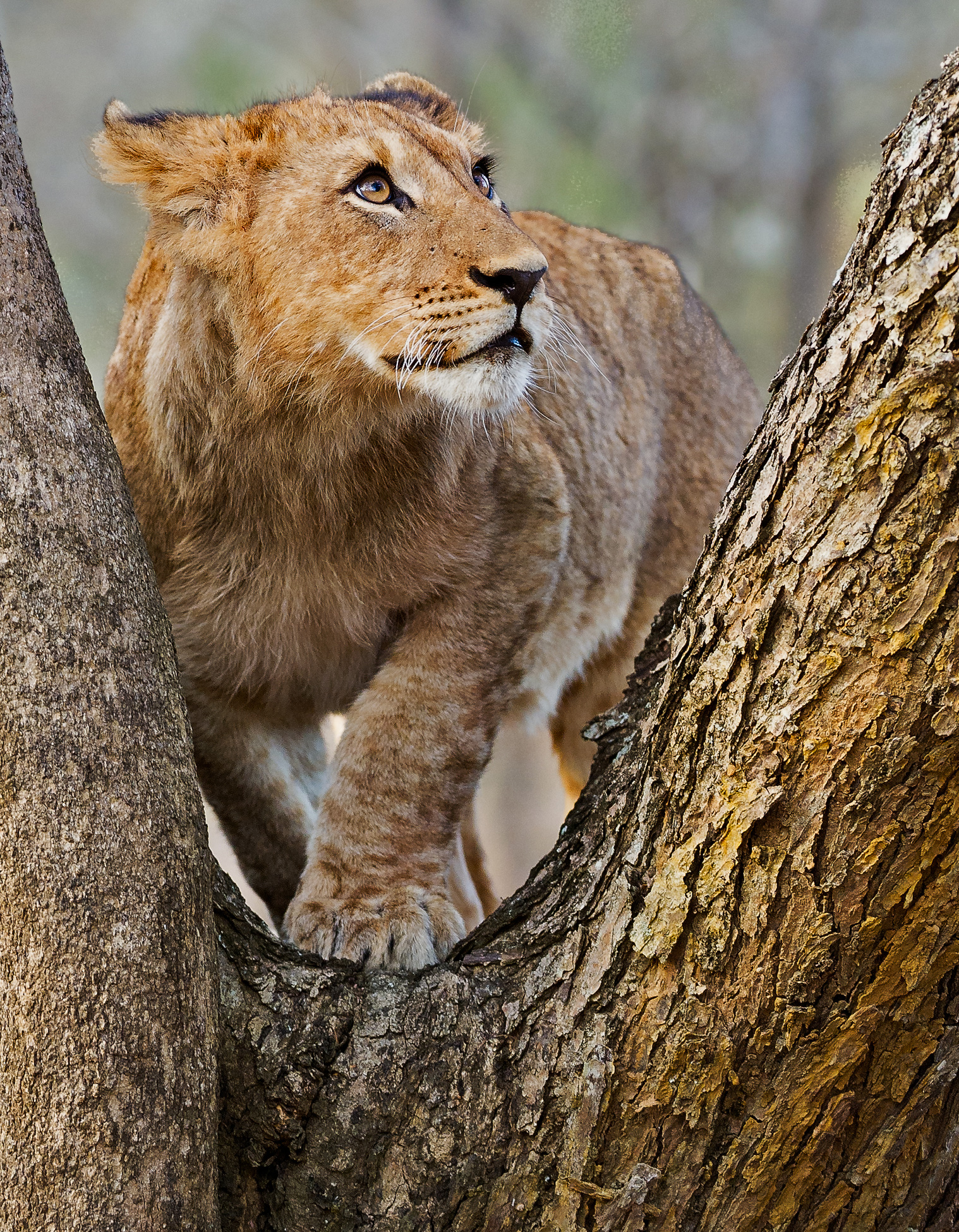 cub-in-tree©WimVorster