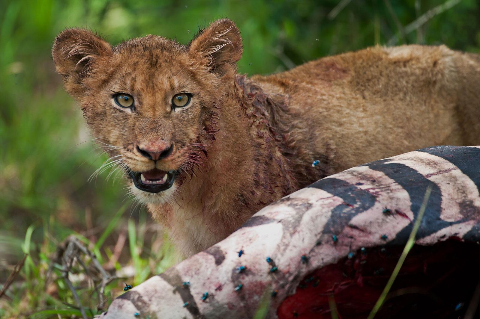 lion-cub-feeding©WimVorster