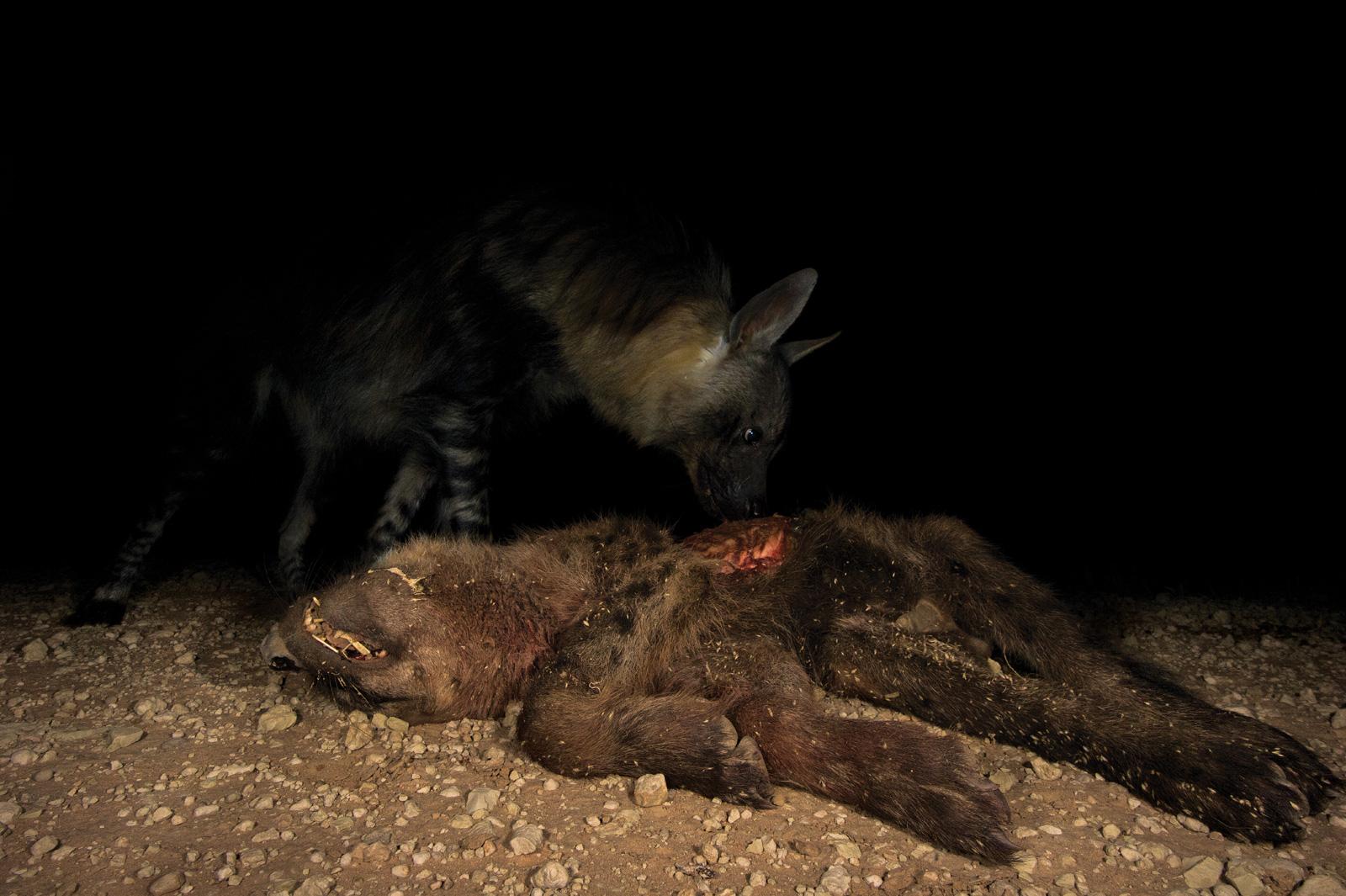 Hannes-Lochner-Kalahari-brown-hyena-eats-spotted-hyena